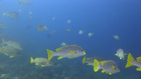 Blackspotted rubberlip Plectorhinchus gaterinus, Yellow-striped sweetlips Plectorhinchus chrysotaenia in Raja Ampat stock video footage