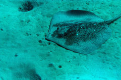 Blackspotted stingray Stock Photos