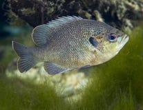Blackspotted Sunfish - που αερίζει τις ανοίξεις Στοκ εικόνα με δικαίωμα ελεύθερης χρήσης
