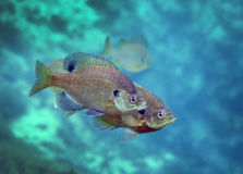 Blackspotted Sunfish Pair Royalty Free Stock Photos