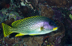 Blackspotted sweetlips royalty free stock photography