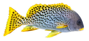 Blackspotted sweetlips. Stock Photos