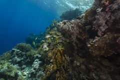 Blackspotted sweetlips and the aquatic life in the Red Sea. Stock Photography