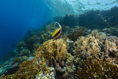 Blackspotted sweetlips and the aquatic life in the Red Sea. Royalty Free Stock Photos