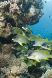 Blackspotted sweetlips ato a tropical reef. Royalty Free Stock Photos