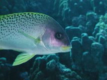 Blackspotted Sweetlips closeup. Taken in the red sea Stock Photos