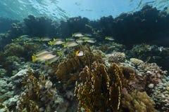 Blackspotted sweetlips en het aquatische leven in het Rode Overzees royalty-vrije stock afbeeldingen