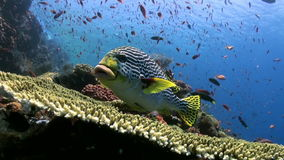 Blackspotted sweetlips fish on coral reef in sea. Blackspotted sweetlips Plectorhinchus gaterinus fish swimming on coral reef in tropical sea. Underwater stock video footage