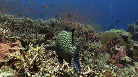 Blackspotted sweetlips fish on coral reef in sea. Blackspotted sweetlips Plectorhinchus gaterinus fish swimming on coral reef in tropical sea. Underwater stock video