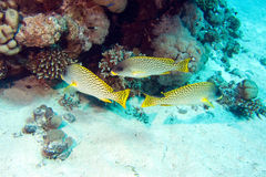 Blackspotted sweetlips in red sea royalty free stock photos