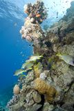 Blackspotted sweetlips on a tropical coral reef. stock images