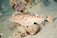 Free Blackspotted Torpedo Ray Royalty Free Stock Images - 7791039