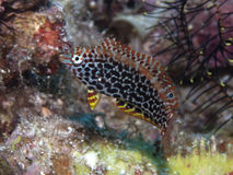 Blackspotted wrasse Royalty Free Stock Images