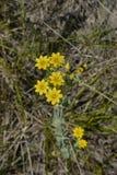 Yellow flowers of Blackstonia perfoliata plant. Blackstonia perfoliata plant in a meadow royalty free stock photos