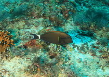 Blackstreak surgeonfish Στοκ Εικόνες