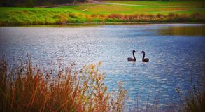 BlackSwan Photo stock