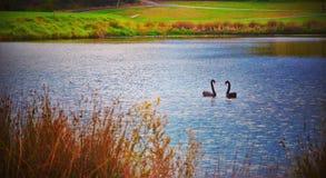BlackSwan Arkivfoto