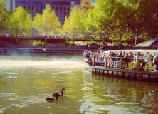 BlackSwan Stockfoto