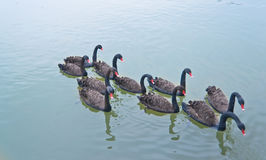 blackswan Royalty Free Stock Images