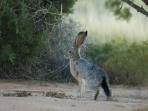 blacktail长耳大野兔 库存照片