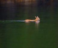 blacktail鹿游泳 库存照片