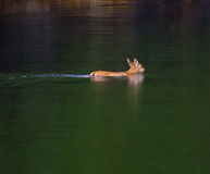 blacktail κολύμβηση ελαφιών Στοκ Φωτογραφίες