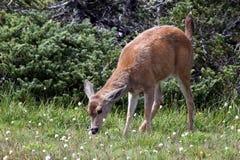 年轻Blacktail鹿哺养 库存图片