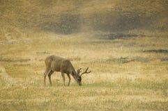Blacktail buck που τρώει Στοκ εικόνες με δικαίωμα ελεύθερης χρήσης