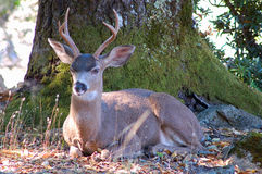 Blacktail buck Royalty Free Stock Photo