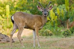 Blacktail Buck Stock Photography