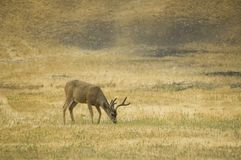 Blacktail buck eating Royalty Free Stock Images