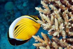 Blacktail Butterflyfish Royaltyfria Bilder