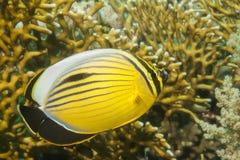 Blacktail Butterflyfish Royaltyfri Bild