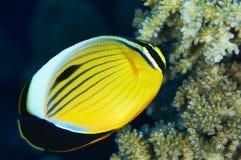 Blacktail Butterflyfish Fotografering för Bildbyråer