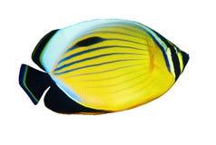 Blacktail Butterflyfish Arkivbild