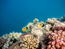 Blacktail butterflyfish on Coral garden in red sea, Marsa Alam,. Beautiful colorful coral garden with Blacktail butterflyfish in red sea, Marsa Alam, Egypt Royalty Free Stock Photography