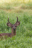 Blacktail Deer Buck Bedded Close UP Royalty Free Stock Photos