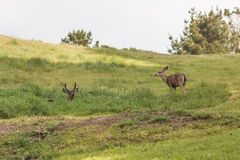 Blacktail Deer Stock Photo