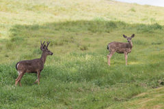 Blacktail Deer Buck and Doe in Field Royalty Free Stock Photos