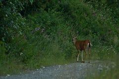 Blacktail Deer Royalty Free Stock Photo