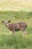 Blacktail Deer Doe Royalty Free Stock Photography