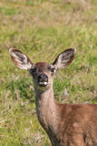 Blacktail Deer Doe Close Up Stock Photos