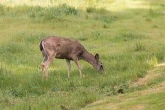 Blacktail Deer Doe Grazing Stock Photography