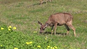 Blacktail Deer Doe grazing stock video