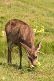 Blacktail Deer Doe Grazing Royalty Free Stock Photos