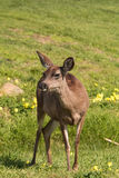 Blacktail Deer Doe Stock Photo