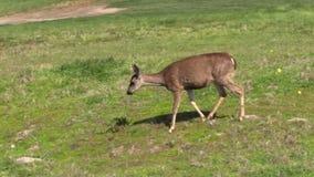 Blacktail Deer stock video