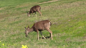Blacktail Deer Does Grazing stock video