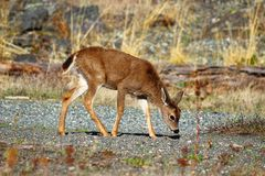 Blacktail Deer Fawn, Southern Vancouver Island. On a sunny afternoon, this blacktail deer fawn enjoyed the warmth among the driftwood of a gravel beach on royalty free stock images