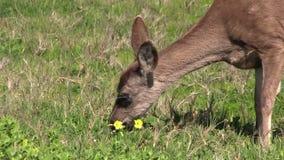 Blacktail Deer Grazing stock video footage